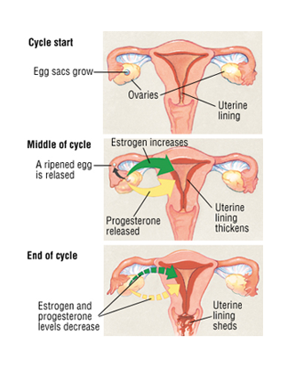 Progesterone During Menstrual Cycle